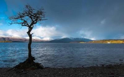 Lone tree Millarochy Bay Loch Lomond