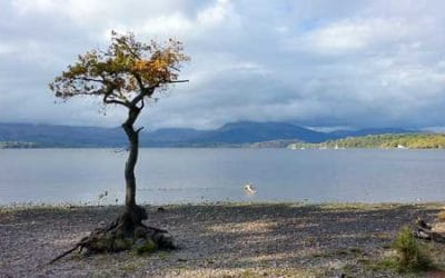 Lone Tree at Milarrochy Bay Loch Lomond