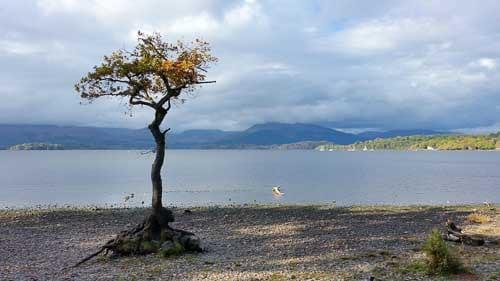 Lone Tree at Milarrochy Bay Loch Lomond